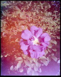colour rose 4x5