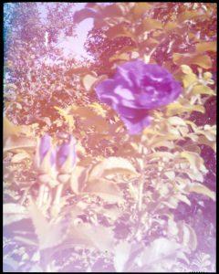Ektachrome Roses